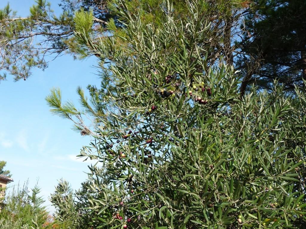 R colte des olives de la maison lydie 39 s house - La maison de l olive nice ...